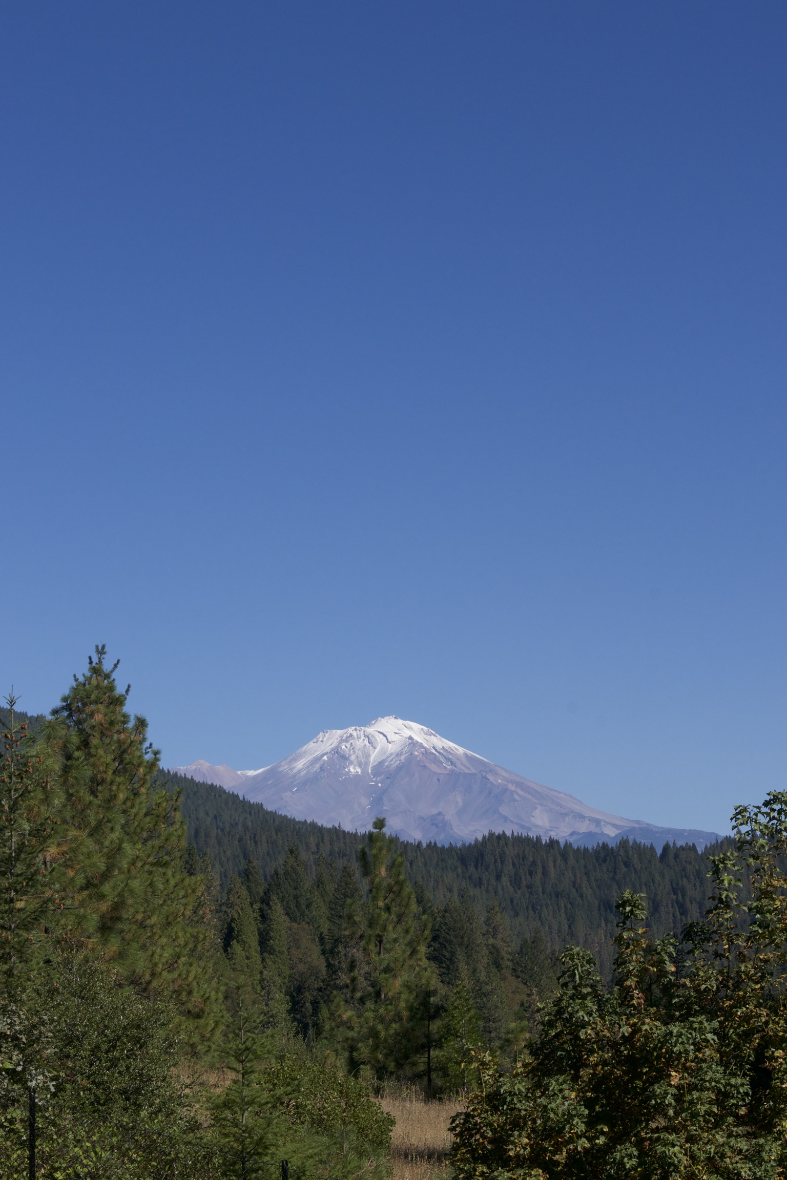 A forest of pines leads up to Shasta on the horizon, a deep blue sky overhead.