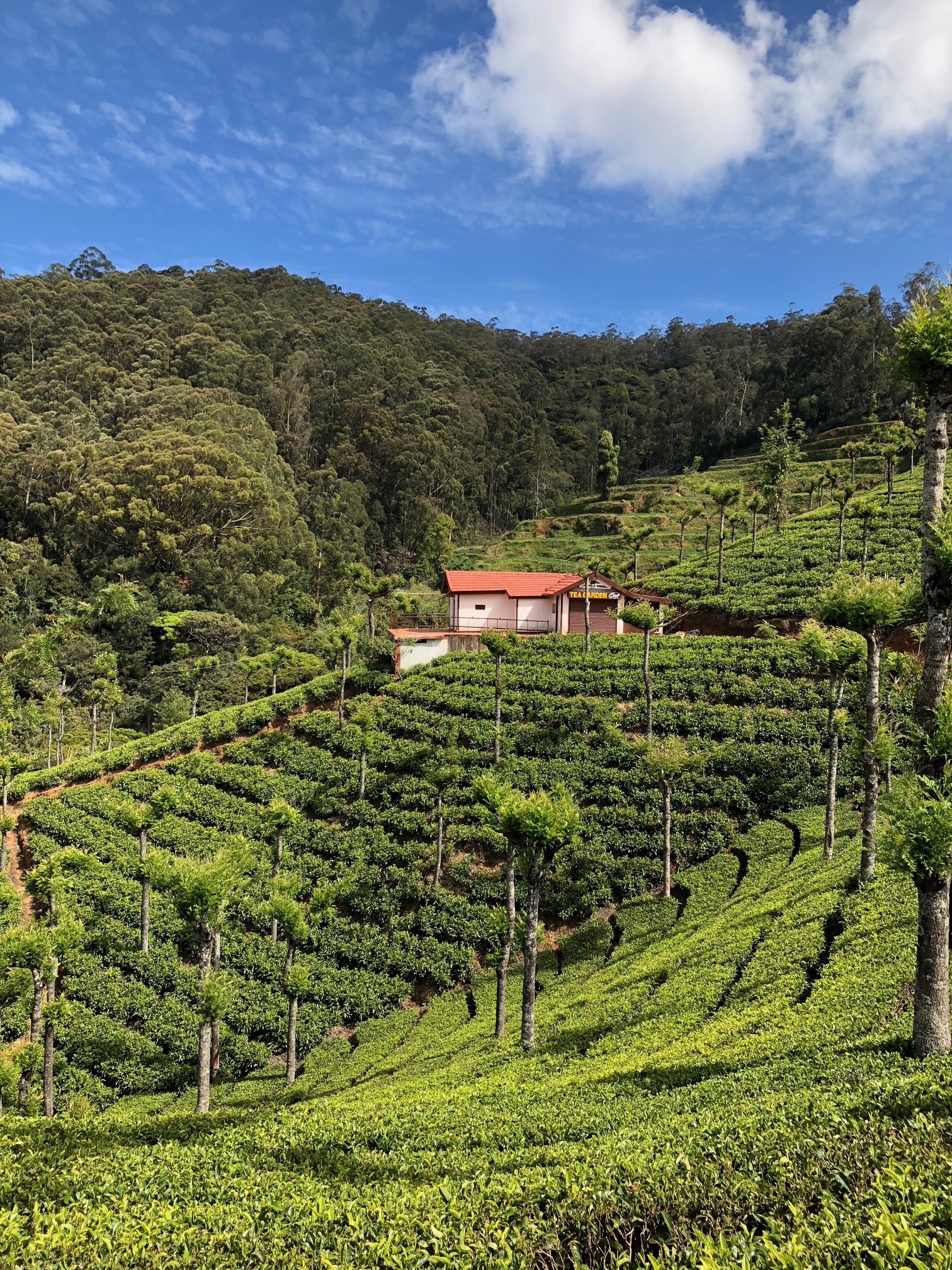 Rows and rows of short plants cover a hillside with a tea garden, surrounded by trees.